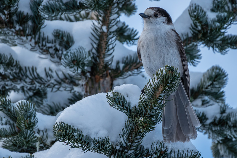 Grey Jay in the Winter