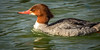 Common Female Merganser