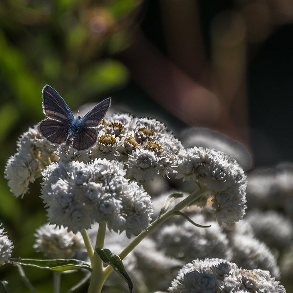 Pearly Everlasting and Butterfly