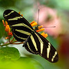Zebra Longwing Butterfly