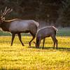 Elks by Littlerock