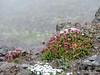 Mt Ellinor wildflowers