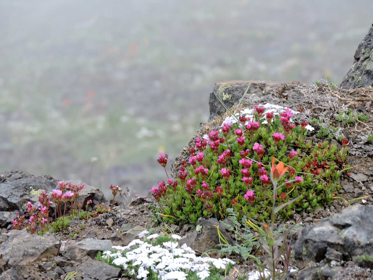 Mt Ellinor wildflowers