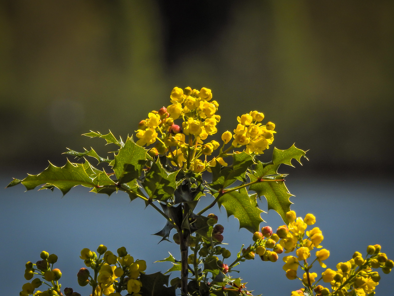 Oregon Grape at Capitol Lake