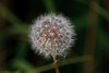 A little bit of Nature-Dandelion