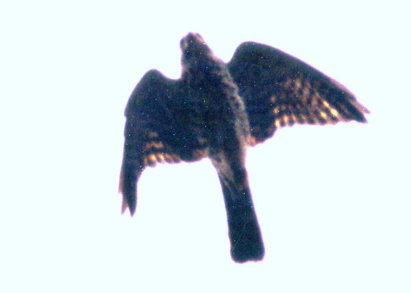 The Mauritius kestrel, one of the rarest birds on earth, Mauritius, Indian ocean, october 2002