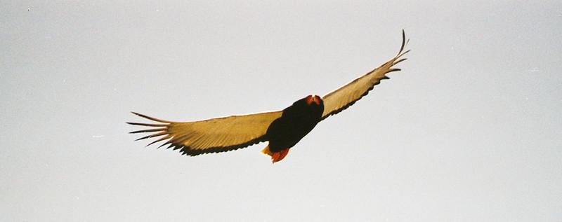 Bateleur eagle, Tarangerie national park, Tanzania, July 2004