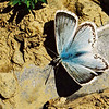 ljusblàvinge, one of the rarest bluewings, villars sur ollon, swiss alps, 21st september 1998