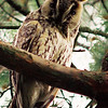 great horned owl, denens, switzerland, june 1997