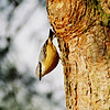 Nuthatch, 31st december 1999
