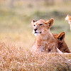 Lioness with babies, Ngorongoro crater, tanzania, july 2004