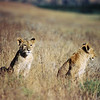 Lion babies, Ngorongoro, july 2004