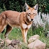 Ethiopian Wolf, Bale Mountains national park, Ethiopia, july 2006