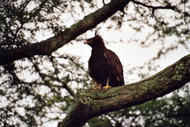 Crested Eagle, Ethiopia, july 2006