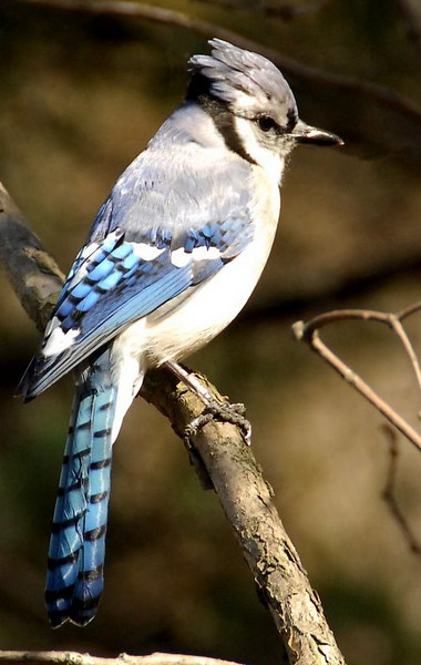 Blue Jay, Central Park, New York, USA, march 2007<br /> (the only digital picture in this collection)