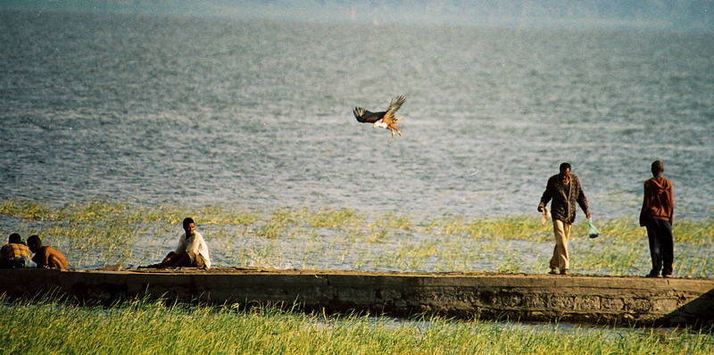 An african fish eagle dives for a fish on lake Tana, Ethiopia, in july 2006, at the amazement of all passers by