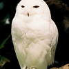 Snowy Owl, Nyctea Scandica, Male, at Zoo de la garenne, switzerland, 1995. my first bird picture to be published in a french bird magazine, vivre avec les oiseaux, in 1995
