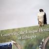 Augur Buzzard, Bale mountains national park, ethiopia, july 2006