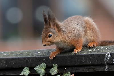 Ekorre – Sciurus vulgaris – Red Squirrel
