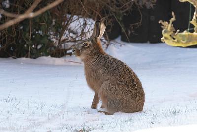 Fälthare – Lepus europaeus – European Hare