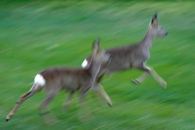 Rådjur – Capreolus capreolus – Roe Deer