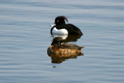 Vigg – Aythya fuligula – Tufted Duck