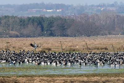 Vitkindad gås – Branta leucopsis – Barnacle Goose + Bläsgås – Anser albifrons – Greater White-fronted Goose