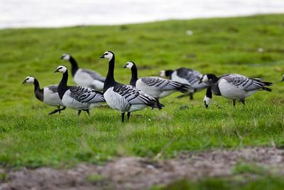 Vitkindad gås – Branta leucopsis – Barnacle Goose