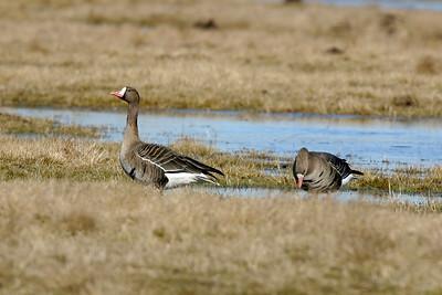Bläsgås – Anser albifrons – Greater White-fronted Goose