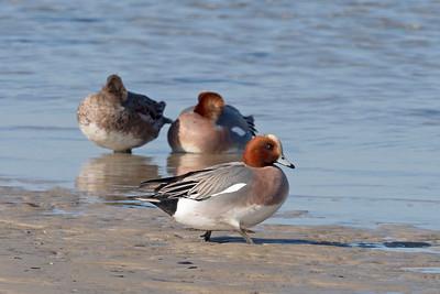 Bläsand – Anas penelope – Eurasian Wigeon