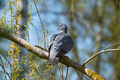 Ringduva – Columba palumbus – Common Wood Pigeon