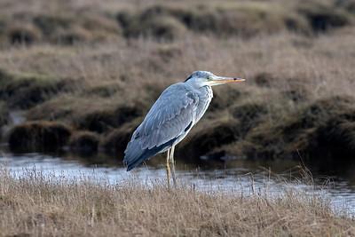 Gråhäger – Ardea cinerea – Grey Heron