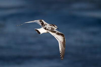 Dvärgmås – Hydrocoloeus minutus – Little Gull