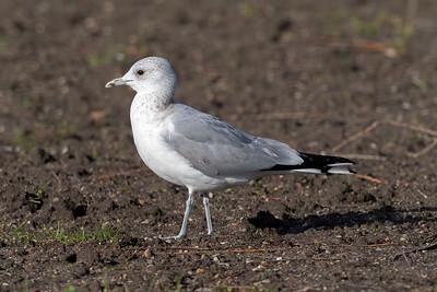 Fiskmås – Larus canus – Common Gull