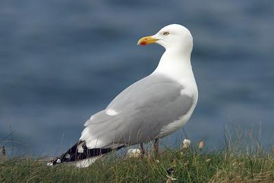 Gråtrut – Larus argentatus – Herring Gull