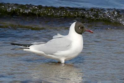 Skrattmås – Chroicocephalus ridibundus – Black-headed Gull