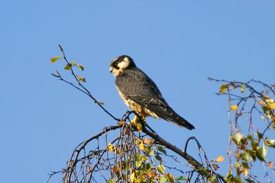 Lärkfalk – Falco subbuteo – Eurasian Hobby