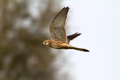 Tornfalk – Falco tinnunculus – Common Kestrel