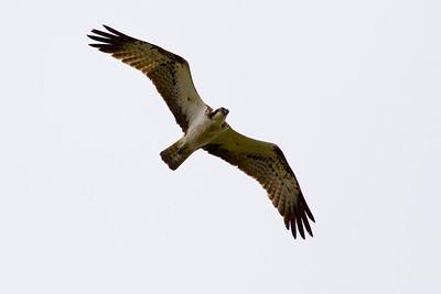 Fiskgjuse – Pandion haliaetus – Osprey