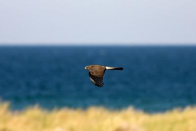 Sparvhök – Accipiter nisus – Eurasian Sparrowhawk