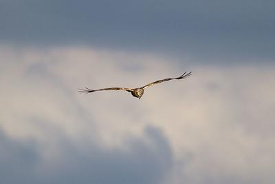 Brun kärrhök – Circus aeruginosus – Eurasian Marsh Harrier