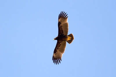 Större skrikörn – Clanga clanga – Greater Spotted Eagle