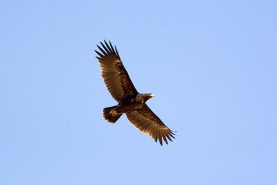Mindre skrikörn – Clanga clanga – Greater Spotted Eagle