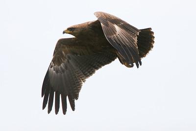 Mindre skrikörn – Clanga pomarina – Lesser Spotted Eagle