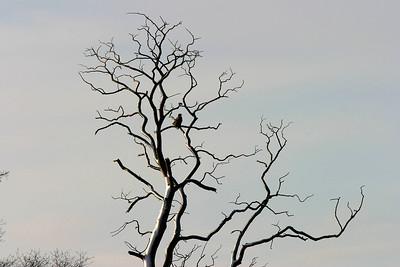 Havsörn – Haliaeetus albicilla – White-tailed Eagle