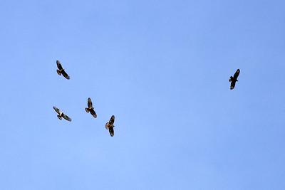 Bivråk – Pernis apivorus – European Honey Buzzard