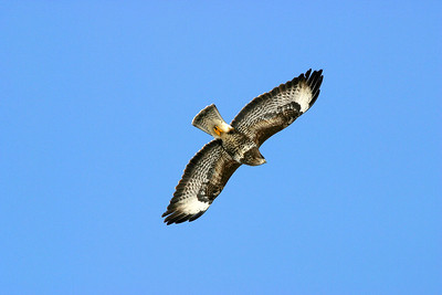 Ormvråk – Buteo buteo – Common Buzzard