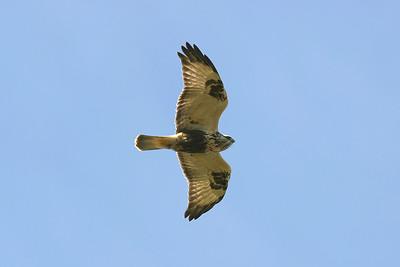Fjällvråk – Buteo lagopus – Rough-legged Buzzard
