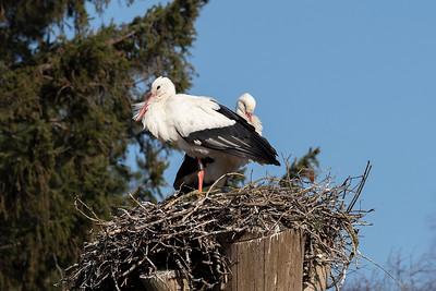 Vit stork – Ciconia ciconia – White Stork