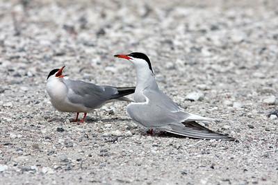 Fisktärna – Sterna hirundo – Common Tern